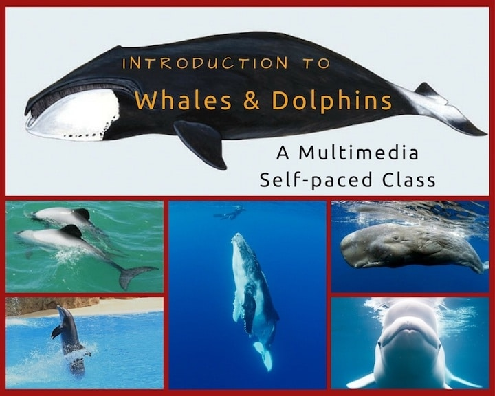 Intro-to-Whales-and-Dolphins-720px
