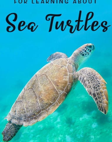 FREE Resources for Learning about Sea Turtles