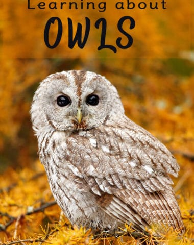 Free Resources for Learning about Owls